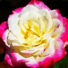Mehrfarbige Rose von Evita