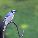 Resting Blue Jay by jenndes