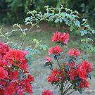 Azaleas framed by Wild Roses by Gilberte