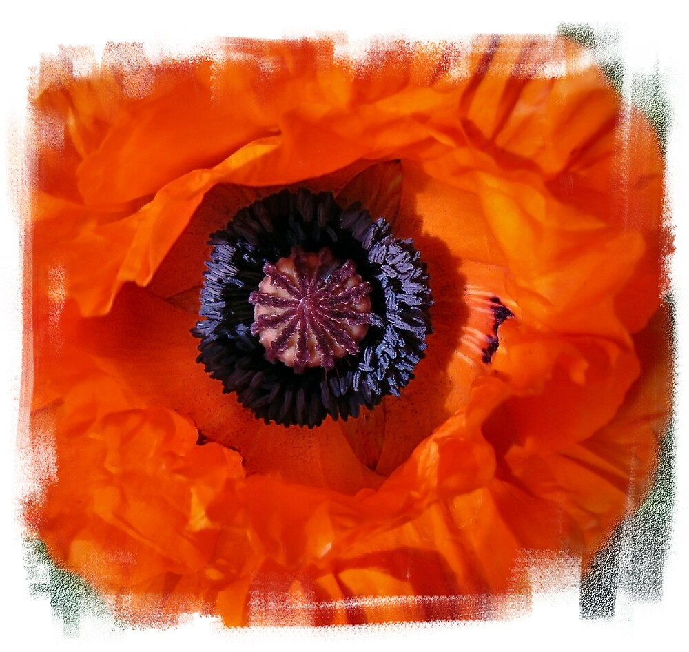 Papaver Orientale by mariarty