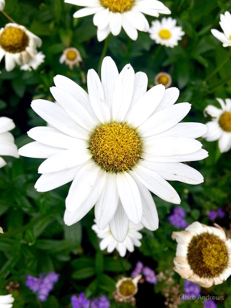 Daisy Close Up Image by Claire Andrews