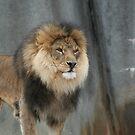 lion by ahedges