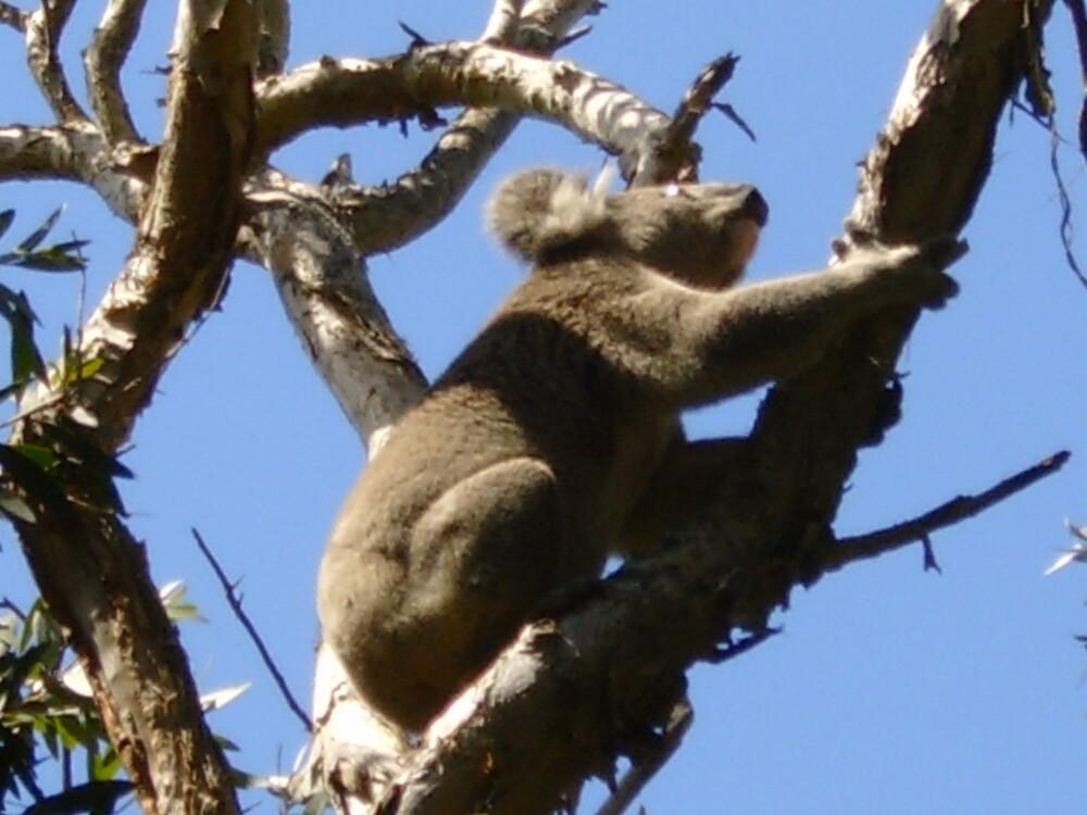 koala by FantasticRunner