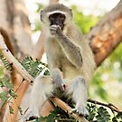 Vervet Monkey by cs-cookie