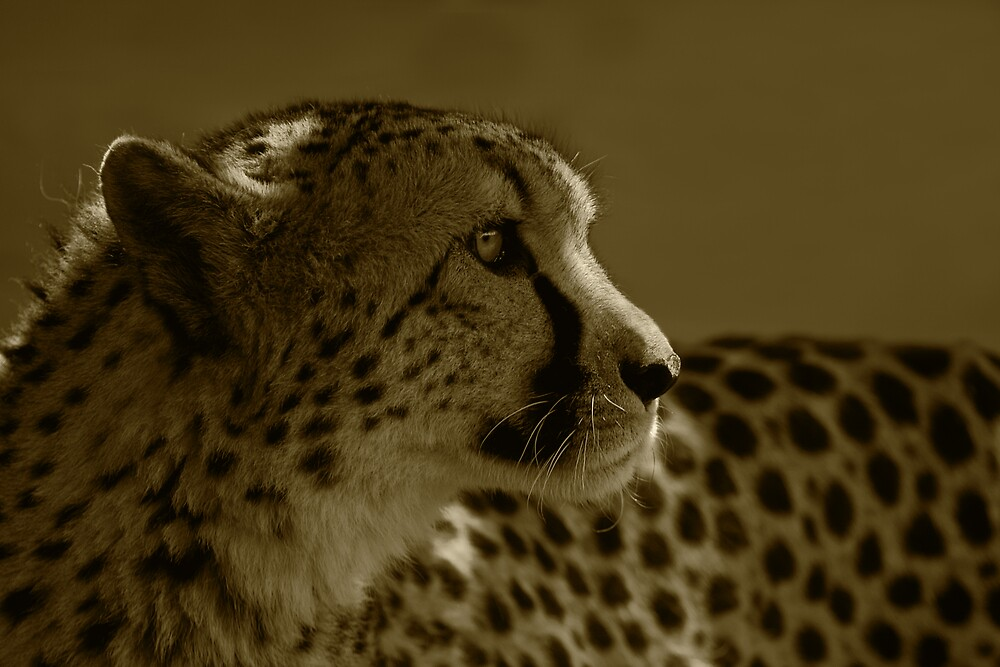 Cheetah by Margaret Barry