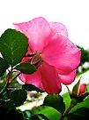 Behind a Rose by lindsycarranza