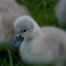 Ugly Duckling NOT!!! by Justin020