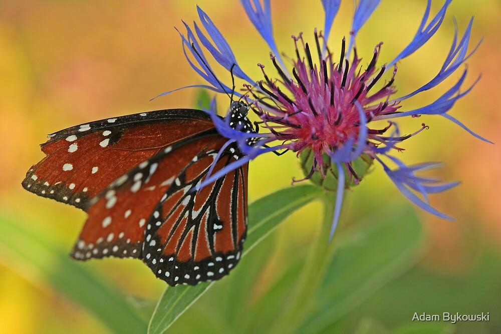 Cornflower with Queen by Adam Bykowski
