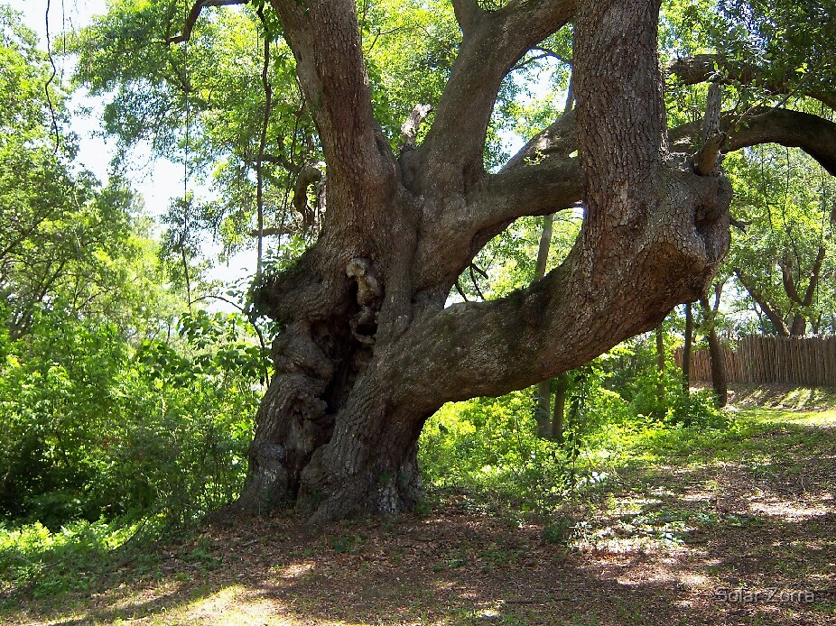 OLD TREES STILL DANCE by Solar Zorra