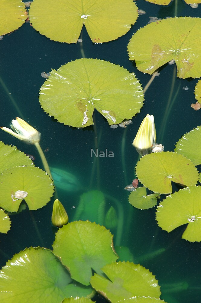 Water Lilly's by Nala