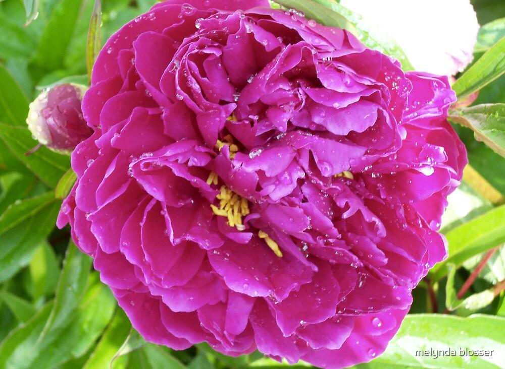 purple peonie by melynda blosser
