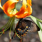 butterfly on lily by Dennis Cheeseman