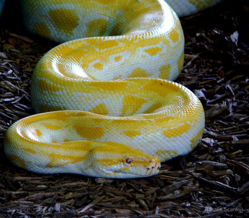Yellow Python by Rosalie Scanlon