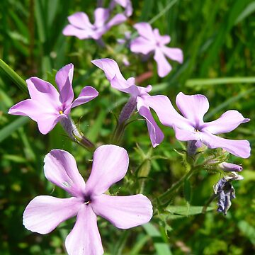 phlox by mwfoster