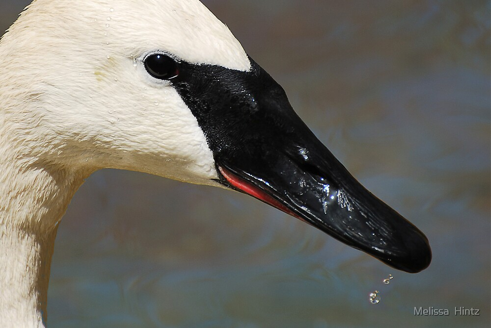 Swan Profile by Melissa  Hintz