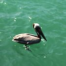 Pelican by AndreaBelanger