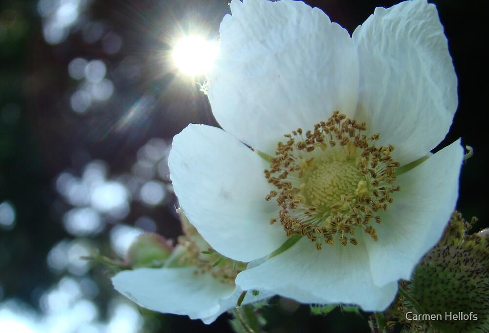 White Flower in the Sun by Carmen Hellofs