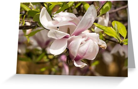 Pink Magnolia Blossoms by newbeltane