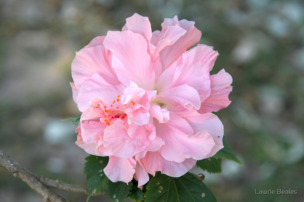 Delicate Pink Hibiscus by Lawrie Beales
