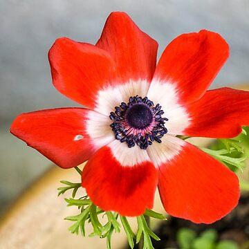 Anemone coronaria De Caen by newbeltane