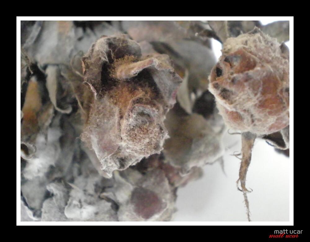 the ghost of roses by matt ucar