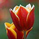 Tulip by Frank Yuwono