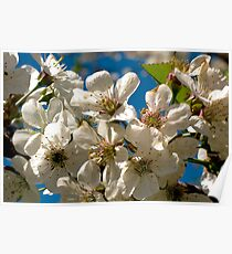 Apple Blossom II Poster