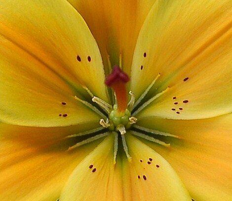 lily by karen Bradshaw