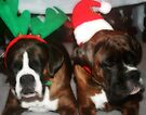 If I Close My Eyes... Santa Will Come..  -Boxer Dogs Series- by Evita