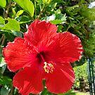 Hibiscus by WanderingBajans