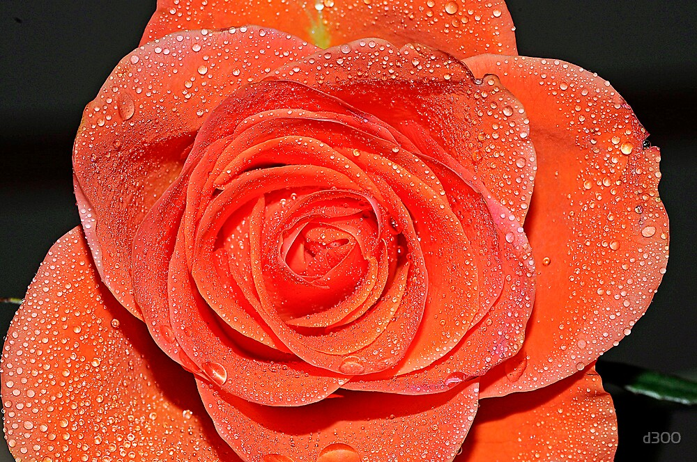 Apricot Rose by d300