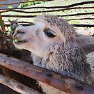 Alpaca in Peru by WanderingBajans