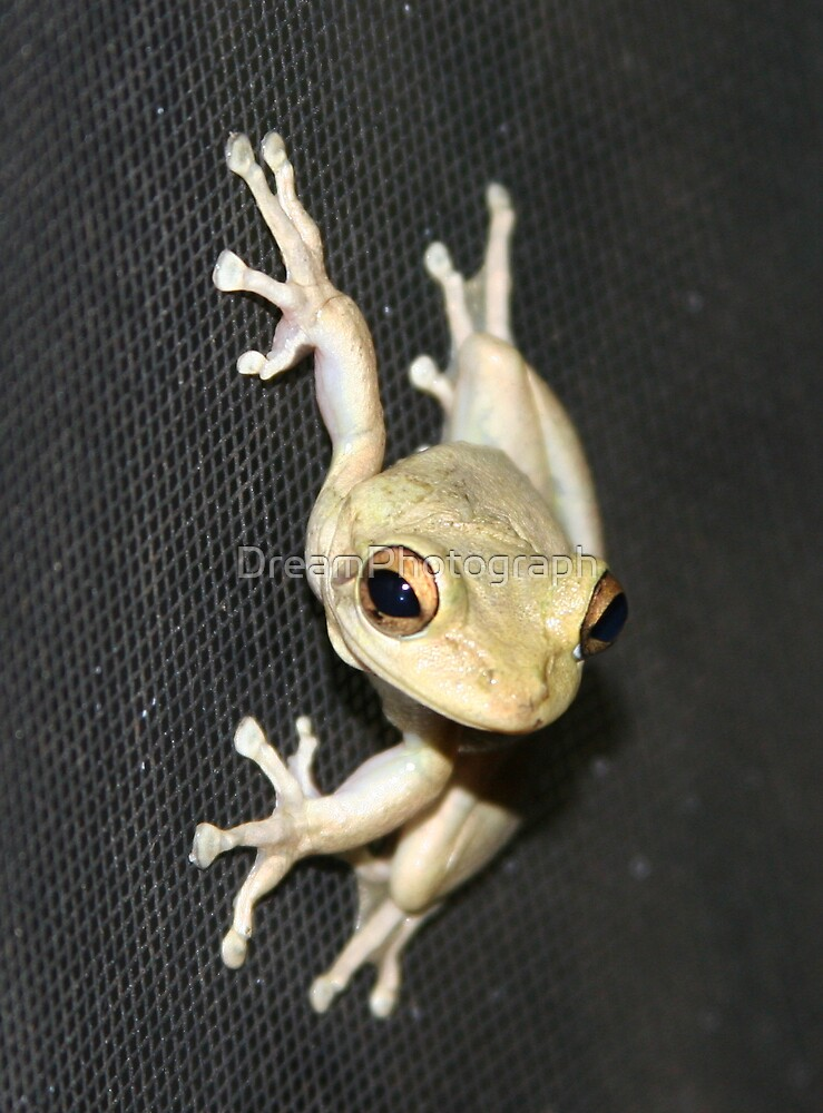 Tree Frog Staring at Me! by DreamPhotograph