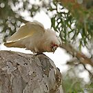 Long-billed Corella  (430) by Emmy Silvius