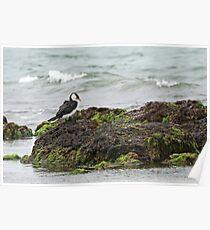 Little Pied Cormorant  (A1000) Poster
