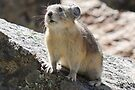 The Adorable Pika by Betsy  Seeton
