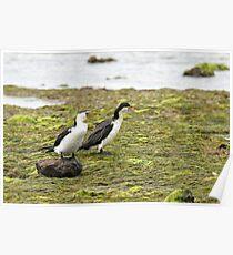 Little Pied Cormorants  (A1019) Poster