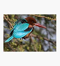 White Breasted Kingfisher III Photographic Print