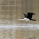 Pied Cormorant  (0019) by Emmy Silvius