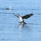 Pied Cormorant  (0247) by Emmy Silvius