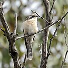 Black-eared Cuckoo  (310) by Emmy Silvius