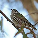 Shining Bronze Cuckoo  (479) by Emmy Silvius