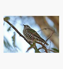Shining Bronze Cuckoo  (479) Photographic Print