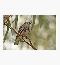Shining Bronze Cuckoo  (512) Photographic Print