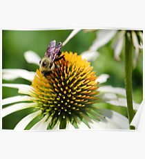 Bee on white coneflower Poster