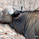A COMPANION FOR THE LONELY BULL - The Buffalo - Syncerus caffer  by Magriet Meintjes