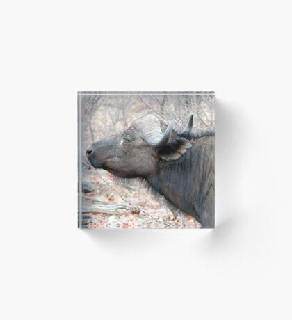A COMPANION FOR THE LONELY BULL - The Buffalo - Syncerus caffer  Acrylic Block