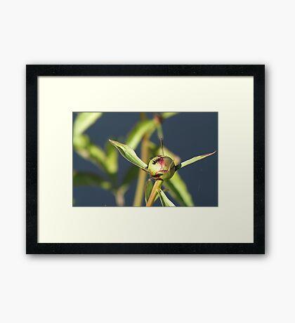 Ants On A Peony Bud Framed Print