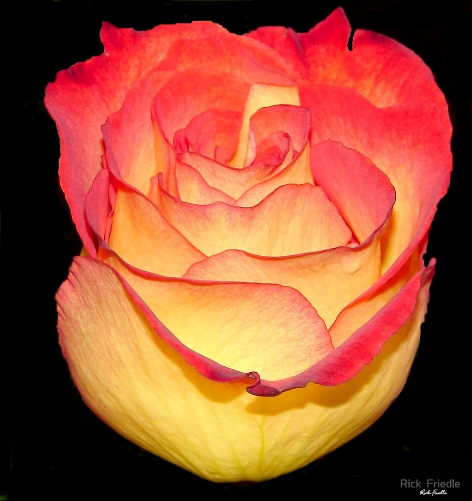 The Rose by Rick  Friedle