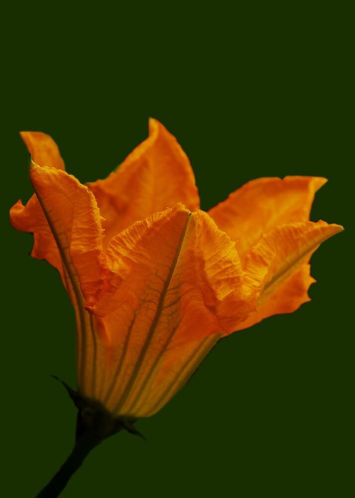 Zuccinni Blossom by Mariann Kovats